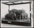 View Mammals Exhibits, Natural History Building - Square-Lipped Rhinoceros Group digital asset number 0