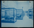 View Mammals Exhibits, Natural History Building - Walrus digital asset number 0