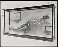 View Vertebrate Fossil Exhibit, Division of Paleontology, Natural History Building - Ceratosaurus digital asset number 0