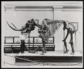 View Vertebrate Fossil Exhibit, Division of Paleontology, Natural History Building - Mastodon digital asset number 0
