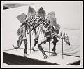 View Vertebrate Fossil Exhibit, Division of Paleontology, Natural History Building - Stegosaurus digital asset number 0