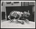 View Vertebrate Fossil Exhibit, Division of Paleontology, Natural History Building - Horned Gopher digital asset number 0