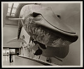 View Hall of Life in the Sea, Museum of Natural History - Blue Whale digital asset number 0