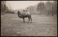 View National Zoological Park, Bactrian Camel digital asset number 0