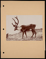 View National Zoological Park, Woodland Caribou digital asset number 0