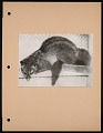View National Zoological Park, Palm Civet digital asset number 0