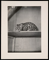 View National Zoological Park, Ocelot digital asset number 0