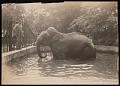 "View National Zoological Park, Indian Elephant ""Dunk"" digital asset number 0"