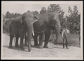 """View National Zoological Park, Indian Elephants """"Dunk"""" and """"Gold Dust"""" digital asset number 0"""