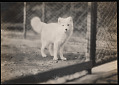 View National Zoological Park, Arctic Fox digital asset number 0