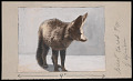 View National Zoological Park, Bat-eared Fox digital asset number 0
