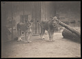 View National Zoological Park, Lions, Male and Female digital asset number 0