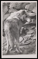 View National Zoological Park, Timber Wolf digital asset number 0