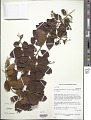 View Bredemeyera kunthiana (J. St.-Hil.) Klotzsch ex A.W. Benn. digital asset number 1