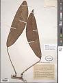 View Rhaphidophora africana N.E. Br. digital asset number 1
