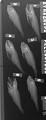 View Parascombrops pellucidus digital asset number 0