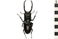 View Stag Beetle, Malaysian stag beetle digital asset number 0