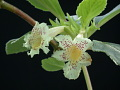 View Alsobia punctata (Lindl.) Hanst. digital asset number 2