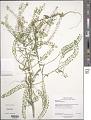 View Lepidium virginicum L. digital asset number 2