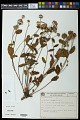 View Waltheria communis A. St.-Hil. digital asset number 0