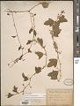 View Passiflora pallida L. digital asset number 1