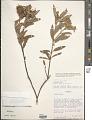 View Croton garckeanus Baill. digital asset number 1