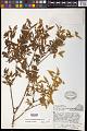 View Buckleya distichophylla (Nutt.) Torr. digital asset number 0
