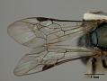 View Homalictus brachyptera digital asset number 4