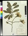 View Magnolia stellata (Siebold & Zucc.) Maxim. digital asset number 0