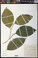 View Scleropyrum aurantiacum (Lauterb. & K. Schum.) Pilg. digital asset number 0