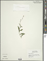 View Myosotis laxa F. Lehm. digital asset number 1