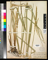 View Leymus cinereus (Scribn. & Merr.) Á. Löve digital asset number 0