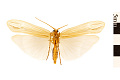 View Northern Caddisfly, Northern Caddisfly digital asset number 1