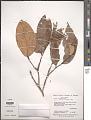 View Licania micrantha Miq. digital asset number 1