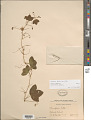 View Passiflora lutea L. digital asset number 1