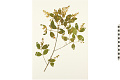 View Common Chinese Privet digital asset number 5