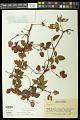 View Serjania reticulata Cambess. digital asset number 0