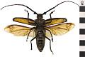 View Long-horn Beetle, Long-horned Beetle digital asset number 1