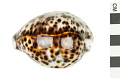 View Tiger Cowrie, Tiger Cowrie shell digital asset number 0