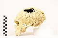 View La Chapelle-aux-Saints, Neanderthal Man, Fossil Hominid digital asset number 10