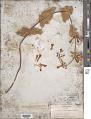 View Penstemon pseudospectabilis var. connatifolius (A. Nelson) D.D. Keck digital asset number 1