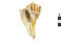 View Lightning Whelk, Lightening Whelk, Fossil shell digital asset number 0