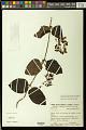 View Stigmaphyllon blanchetii C.E. Anderson digital asset number 0
