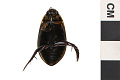 View Predaceous Diving Beetle, Diving Water Beetle digital asset number 1