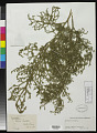 View Lycopodiella cernua (L.) Pic. Serm. digital asset number 0