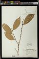 View Cleistanthus petelotii Merr. ex Croizat digital asset number 0