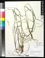 View Bromus carinatus Hook. & Arn. digital asset number 0