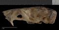 View Heteromys catopterius Anderson & Gutierrez, 2009 digital asset number 8