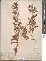 View Salix lasiolepis Benth. digital asset number 1