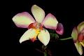 View Spathoglottis 'Penang Beauty' digital asset number 3